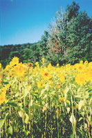 Cooperstown Sunflowers